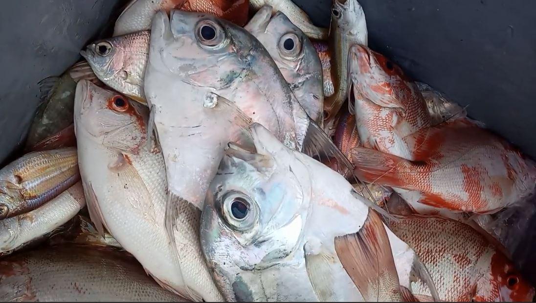 Ikan kakap merah dan GT laut Probolinggo
